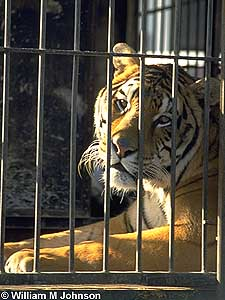 Circus Tiger in Cage